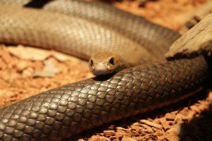 Zdjęcie stock wąż Australia