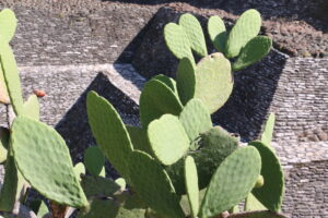 Cholula - kaktus przy piramidzie